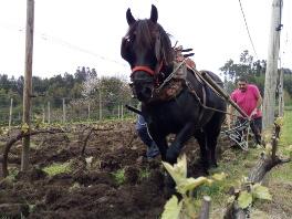 Bodegas El Paraguas recupera el arado tradicional